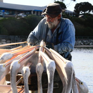 Local man feeds pelicans on Kangaroo Island